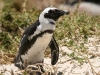 Penguin, Boulders Beach, Cape Town, South Africa